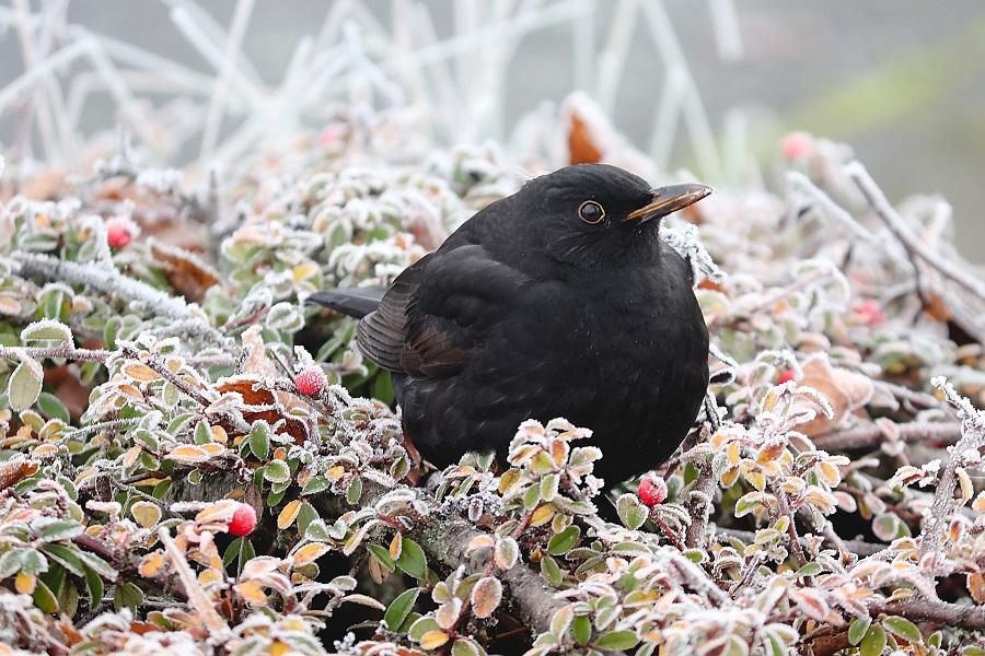 blackbird-4675637_1920